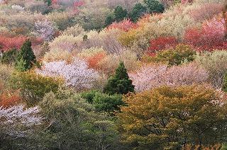 天然記念物「桜川のサクラ」とは